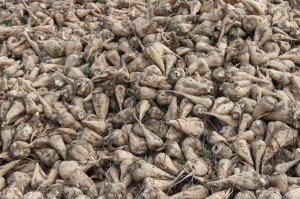 Sugar beet at Tinaztepe