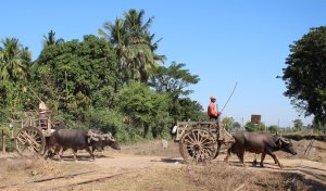 The first part of the ox and cart train at Kadok
